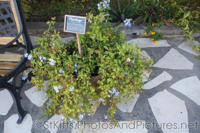 Plumbago plant at Palm Court Gardens in Fortlands St Kitts.jpg