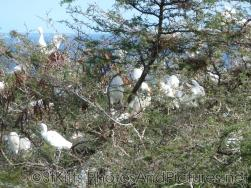 Egret birds congregate at a tree at St Kitts.jpg
