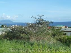 St Kitts Egrets tree.jpg