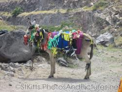 Donkey colorfully decorated in St Kitts.jpg