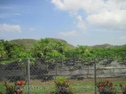 Tree farm in St Kitts.jpg