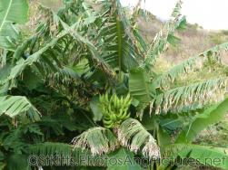Banana tree in St Kitts.jpg