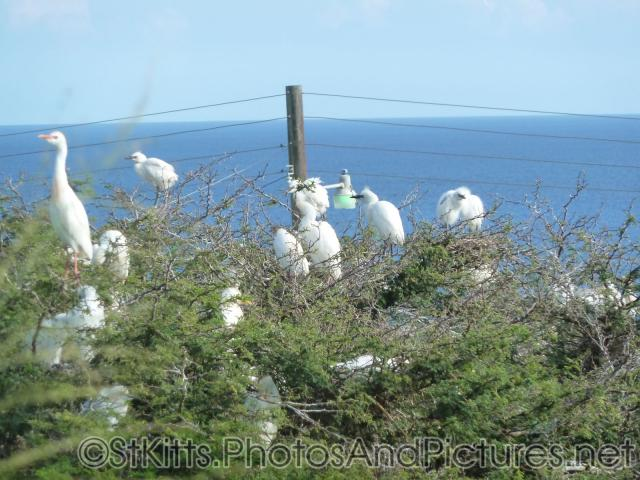 Egrets gather at a tree in St Kitts.jpg
